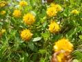 004_flowers_at_kleine_scheidegg