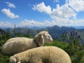 even for sheep it is too hot today